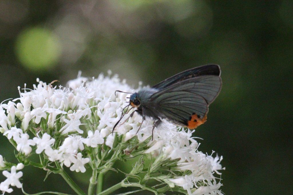 ヨウシュカノコソウに訪花するアオバセセリ